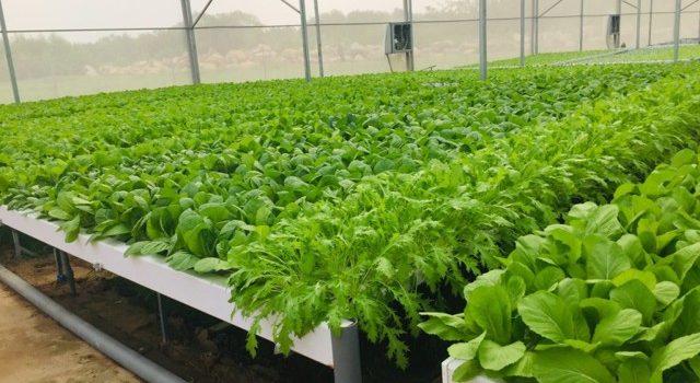 Lê Hà Vina, Lưới chống côn trùng, Lưới Thái Lan, Mô hình trồng rau thủy canh